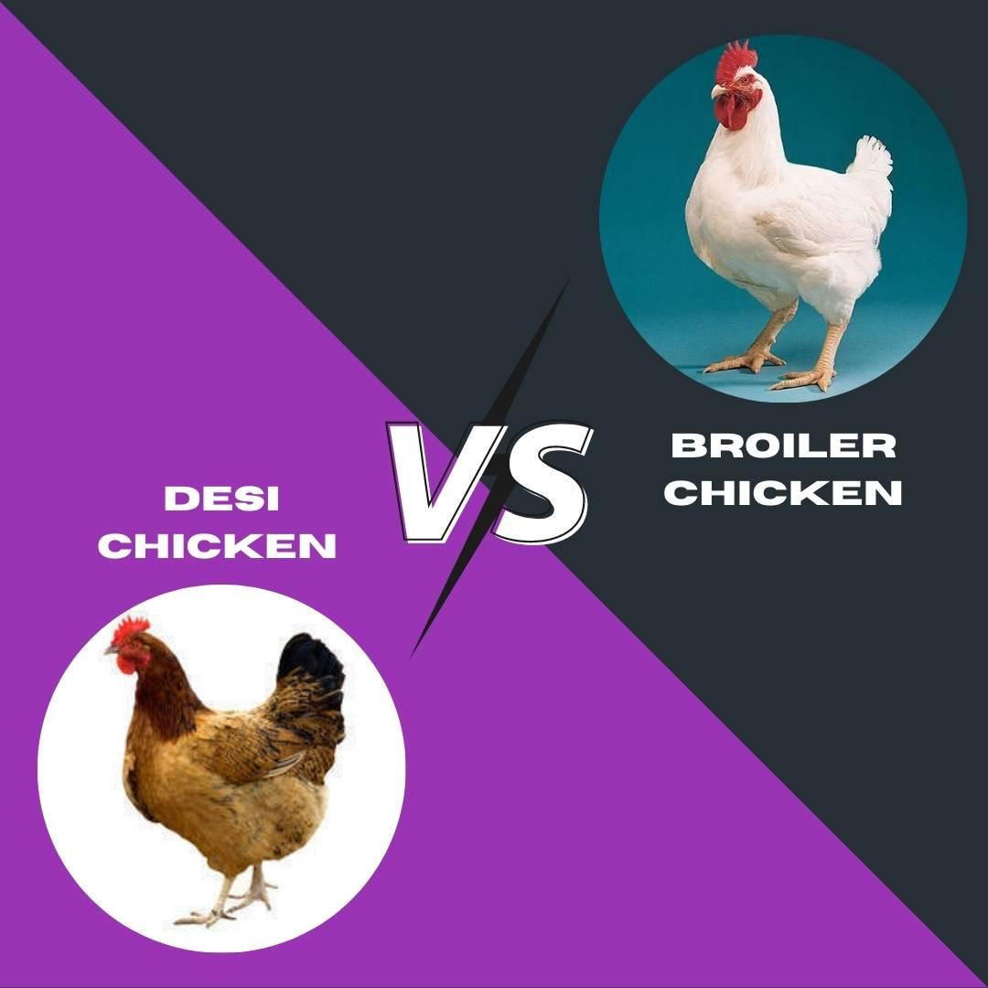 Aseel Desi Chicken vs Broiler Chicken